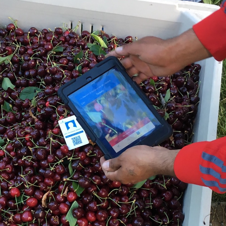 FieldClock running on iPad during cherry harvest